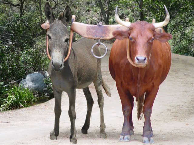 Donkey and Ox yoked together